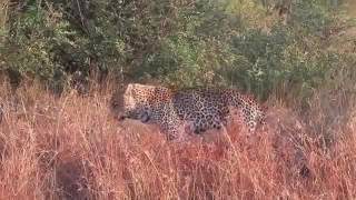 getlinkyoutube.com-Lion Kill Hyena Leopard Kills Warthog vs Hyena