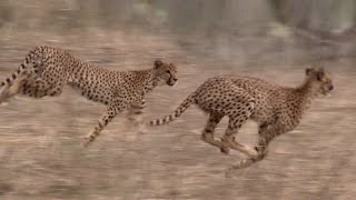 getlinkyoutube.com-WILDLIFE IN AFRICA | Lion Safari in Ruaha National Park, Tanzania, Africa