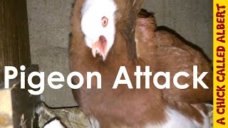 getlinkyoutube.com-Pigeon attack!