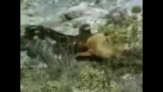 getlinkyoutube.com-النسر الذهبى يصيطاد عدة حيوانات