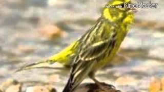 getlinkyoutube.com-تغريد جميل لطائر البسبوس