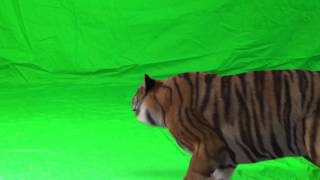 getlinkyoutube.com-Tiger#2-Green Screen