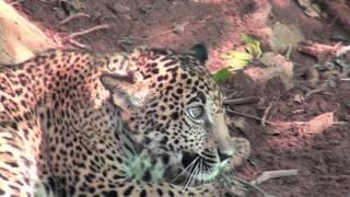 getlinkyoutube.com-Jaguar se comía a sus chivos; lo captura y lo entrega a Profepa en Nayarit