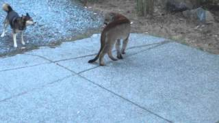 getlinkyoutube.com-Hungry Cougar vs brave dogs, Highlands, Victoria