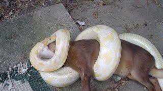 getlinkyoutube.com-Homens salvam cachorro do ataque de uma cobra