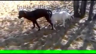 getlinkyoutube.com-Misdirected Mating Between a Dog and a Goat