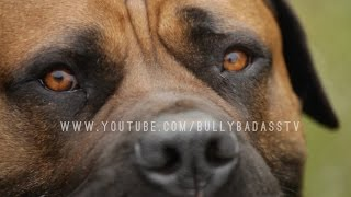 getlinkyoutube.com-THE BOERBOEL A MASTIFF DOG BRED TO DO BATTLE WITH AFRICAN LIONS