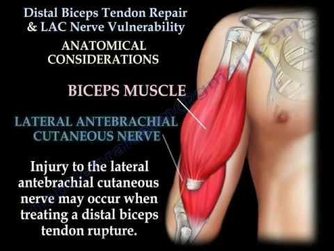Distal Biceps Tendon Repair & Nerve Vulnerability - Everything You Need To Know - Dr. Nabil Ebraheim