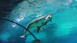 getlinkyoutube.com-Shark eats another shark in 'accident' at a South Korean aquarium