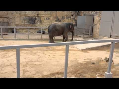 Asia Elephant domestic dancing topten funny@croos
