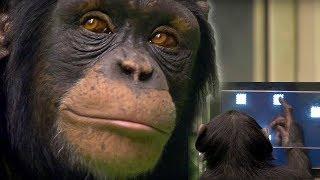 getlinkyoutube.com-Chimp vs human! - Working Memory test - Extraordinary Animals - Earth