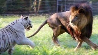 getlinkyoutube.com-Big Cats in Slow Mo