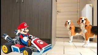 getlinkyoutube.com-Funny Dog VS Mario And His RC Kart!