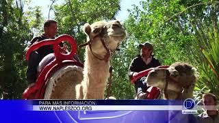 Naples Zoo ofrece la oportunidad de realizar paseos en Camello