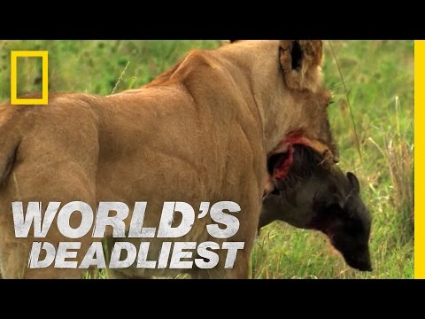 World's Deadliest - Lions vs. Warthog