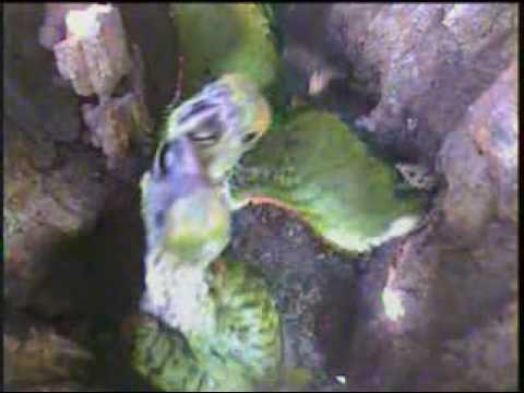 Parental care - Projeto papagaio-verdadeiro, Pantanal, Brasil