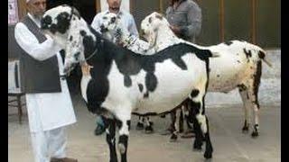getlinkyoutube.com-اكبر واضخم ماعز باكستاني في العالم