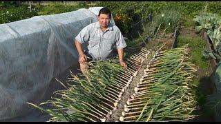 getlinkyoutube.com-Выращивание озимого чеснока