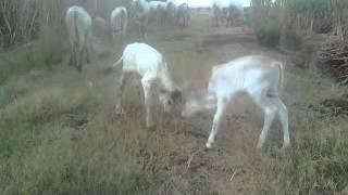 getlinkyoutube.com-Anak sapi berantem
