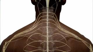 getlinkyoutube.com-Anatomy of the Spinal Cord and How it Works