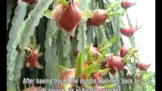 getlinkyoutube.com-Vietnam Dragon Fruit (www.vktour.com)