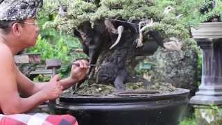 The Bonsai Art of Bali