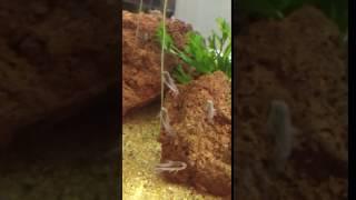 Pygmy cories