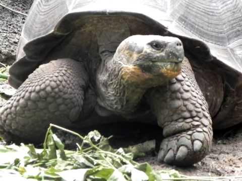 GALAPAGOS: Giant Tortoise Feeding Time – Ecuador pt ayora 20100728