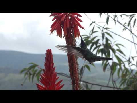 ハチドリ(hummingbird)