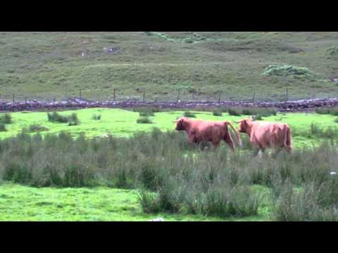 Scottish Highland Cows Near Bridge Of Balgie Scotland