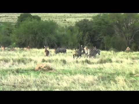 Fighting Zebra at Kapama