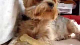 My dog Snoopy (silky terrier)