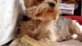 My dog Snoopy (silky terrier)