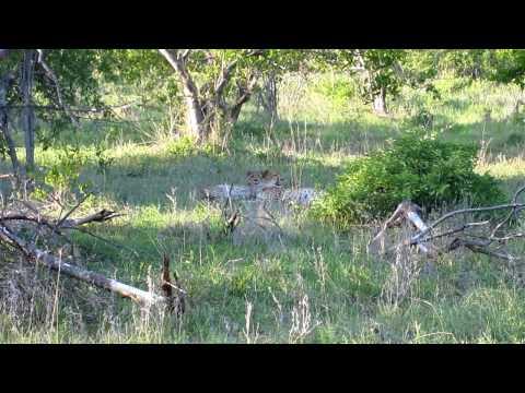 Cheetahs at rest near Naledi Bushcamp