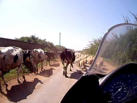 Marrocos – Atravessando um rebanho tb com vacas