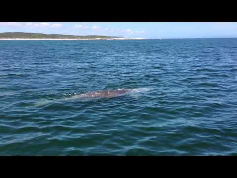 Southern Whale Calf near our boat! Gansbaai, South Africa