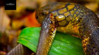 National Geographic Wild Animals Fight-The Deadly King Cobra vs Black Mamba Fights width=