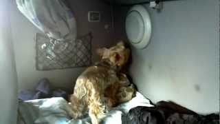 Tonga Yorkie tries to cover speaker, very funny!