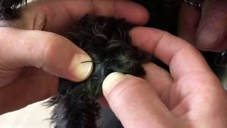 Removing grass seeds from a dog