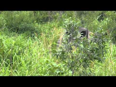 Huge Rhino Horn South Africa