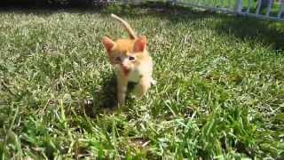 Super Cute Orange Foster Kitten Walking Towards Me While Meowing - On Grass Outside For First Time