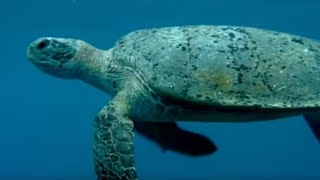 Feeding the Ocean - Turtle's Guide to the Pacific - BBC Earth