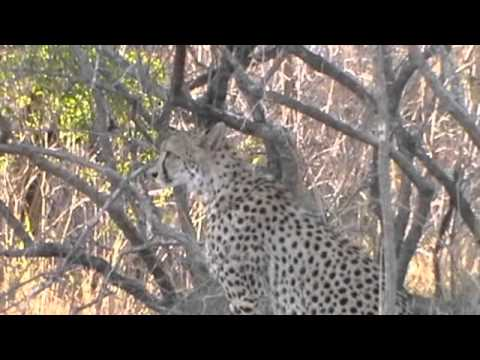 Walking with the ghepard (Kruger Thornybush)