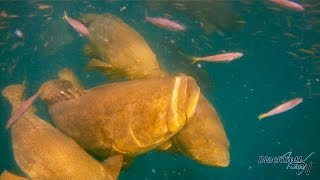 Awesome Goliath Grouper Fishing Video