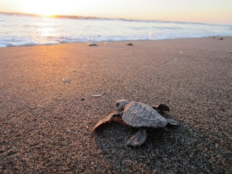 Surf With Baby Turtles in Nicaragua