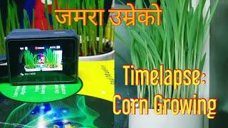 Corn Growing Time Lapse Video | जमरा उम्रेको टाइम ल्याप्स भिडिओ