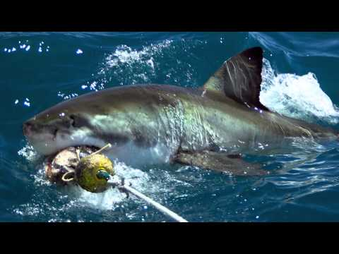 Western Cape Great White Shark.mp4