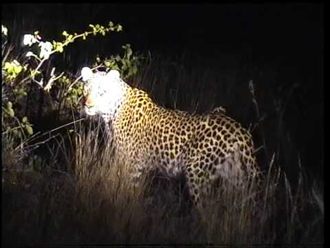 leopard night game drive kruger park south africa