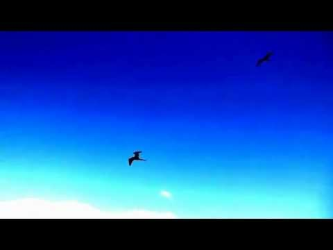 グンカンドリ ガラパゴス Fregata minor, Isla North Seymour, Islas de Galapagos, ECUADOR