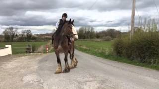 Clydesdale mare 17.2h 6yo